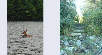 Deer swiming and path